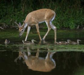 File photo of a white-tailed deer.