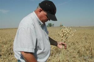 File photo of a farmer holding chickpea seedpods.