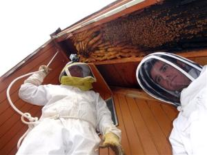 Beekeeper Vic Bachman, left, and Nate Hall remove a 12-foot-long beehive from an A-frame in Eden, Utah. It was the biggest beehive they have ever removed, containing about 60,000 honeybees.