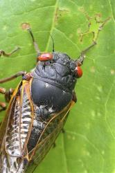 A cicada in Pipestem State Park in West Virginia.