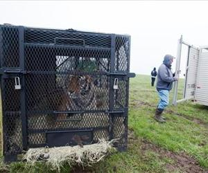 In this May 5, 2013, photo provided by the Humane Society, a tiger awaits transport after it was seized from a menagerie of wild cats in Atchison, Kan.