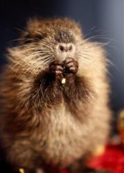 T-Boy, a six week old nutria, comes out of his hole and looks for his shadow at the Audubon Zoo in New Orleans, Wednesday, Feb. 2, 2011.