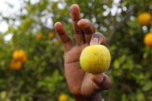 An orange that is showing signs of citrus greening disease.