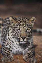 Yemen is trying to save its leopards, and the effort is a harbinger of bigger things.