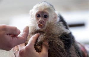 FILE - In this April 2, 2013 file picture Capuchin monkey 'Mally sits on the head of an employee in an animal  shelter in Munich, Germany. German officials say Justin Bieber will have to pay the bill for his monkey's two month stay at a Munich animal shelter. A spokesman...