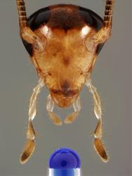 The head of a male German cockroach, pointed toward a flavored test substance dyed blue by researchers.