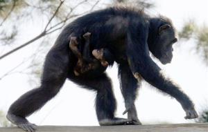 A five-week-old baby chimpanzee named Sule clings to his mother Sacha at Sydney's Taronga Zoo.