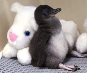 File photo of a two-week-old Little Penguin at the Cincinnati Zoo.