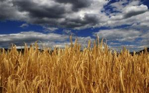 The first lawsuit over GMO wheat in Oregon is here.