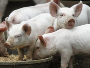 Not all pig feed is created equal.