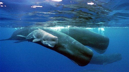 Discovered: How Whales Can Hold Their Breath Underwater
