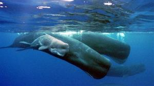 A sperm whale calf swimming next to its mother and a pod of sperm whales.