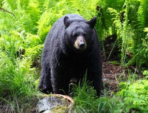 A man hurled barbecued meat to a bear and got mauled for it.