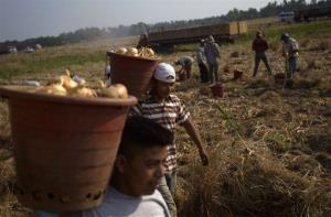 In this May 10, 2011 file photo, field workers pick onion bulbs on a Vidalia onion farm in Lyons, Ga.
