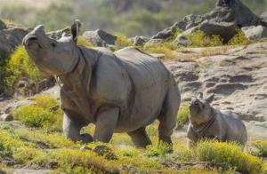 This photo provided by the San Diego Zoo shows a rhino with baby Shomili, a four-and-a-half-month-old greater one-horned rhino.