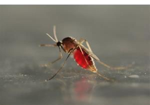 A mosquito.