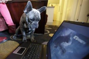 A French bulldog watches DogTV in San Diego.