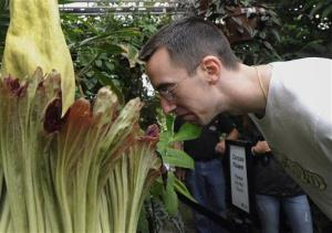 A titan arum, in Connecticut.