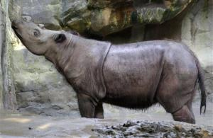 In this Wednesday, July 17, 2013 photo, Suci, a female Sumatran rhino. Cincinnati Zoo officials will try to mate her with her brother, Harapan, in a desperation effort.