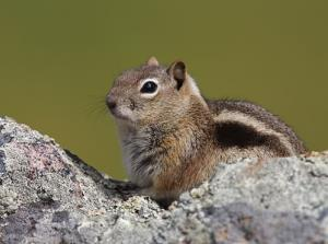 A ground squirrel was found to be infected with plague.