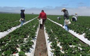 File photo of farm workers weeding strawberry fields in California's Salinas Valley.
