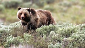 This photo released by Yellowstone National Park shows a grizzly bear moving through the brush.