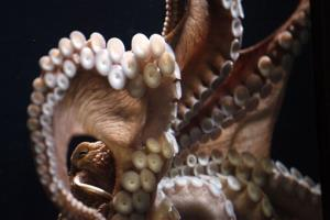 File photo of a giant Pacific octopus at an aquarium.