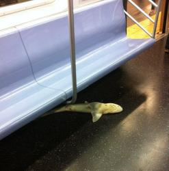 The shark lounges underneath a subway seat while riding the N train.