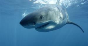 In this image provided by Discovery Channel, a great white swims near Guadalupe Island off the coast of Mexico.