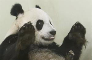 Giant panda Tian Tian in her enclosure at Edinburgh Zoo on Friday.
