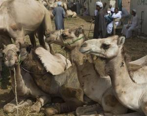 Camels rest during a weekly camel market in Birqash, Egypt.