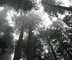 This Oct. 9, 2011, photo provided by Lucy D'Mot shows redwood trees at Del Norte Coast Redwood State Park near Crescent City, Calif.