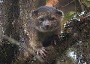 This undated handout photo provided by Mark Gurney shows a olinguito.