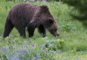 In this Wednesday, July 6, 2011, file photo, a grizzly bear roams near Beaver Lake in Yellowstone National Park, Wy. .