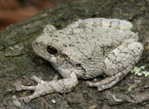 A gray treefrog.