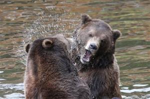 Killisnoo, left, an orphaned six-year-old Alaskan Coastal Brown Bear, and his brother Chiak play in the water in Sitka, Alaska.