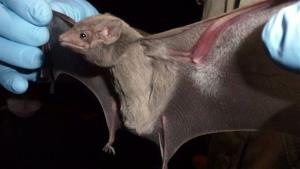 This  provided by EcoHealth Alliance shows a taphozous perforatus bat, also known as an Egyptian tomb bat.
