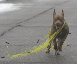 In a photo shot on Tuesday, Feb. 14, 2012, a dog breaks free of a trapping net in Detroit.