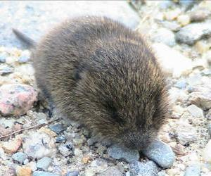 A meadow vole is seen in this file photo.