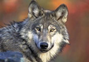 A gray wolf, also known as a timber wolf, is seen in this photo provided by US Fish and Wildlife.
