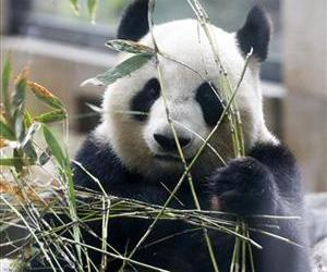 Giant panda Shin Shin holds bamboo while sitting inside her glass enclosure at Tokyo's Ueno Zoo.