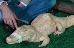 Bino, the albino alligator, receives acupuncture treatment in Sao Paulo, Brazil, Tuesday, Aug 27, 2013.
