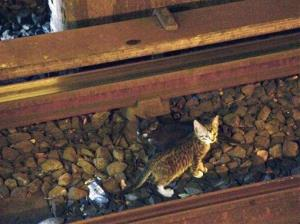 In this Aug. 29, 2013 photo provided by the Metropolitan Transportation Authority in New York, two kittens stand between the rails on subway tracks in the Brooklyn borough of New York.