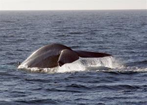 A blue whale.