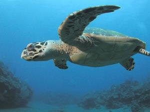 The population of hawksbill turtles has fallen by more than 80% over the last century.