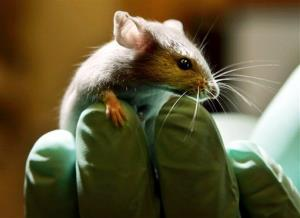 A laboratory mouse looks over the gloved hand of a technician.