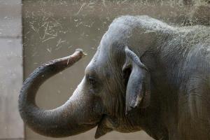 File photo of an Asian elephant.