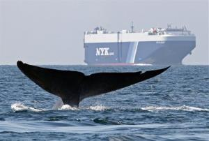 In this 2008 photo provided by John Calambokidis, a blue whale is shown near a cargo ship in the Santa Barbara Channel off the California coast.