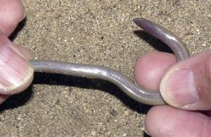 This undated image provided by the University of California, Berkeley, shows a legless lizard, one of four new species of legless lizards discovered by Theodore Papenfuss.