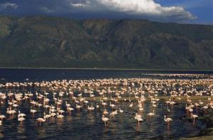 In this 2009 file photo, lesser flamingoes are seen at Lake Natron, Tanzania. (These birds are fine; see New Scientist for images of the statue birds.)